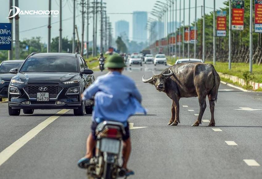 """""""Chó tránh đuôi, bò tránh bụng"""" là một kinh nghiệm cho lái mới nếu bất ngờ gặp động vật băng ngang đường"""